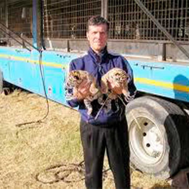 Read more about the article Doppio lieto evento al circo Orfei a Licata: nate due tigri reali del Bengala in cattività
