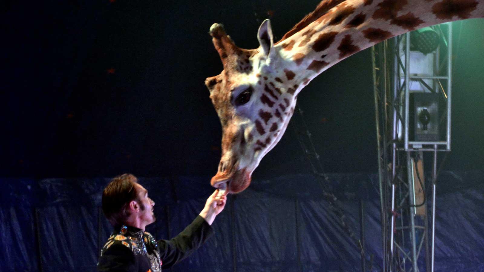 Orfei circus giraffa