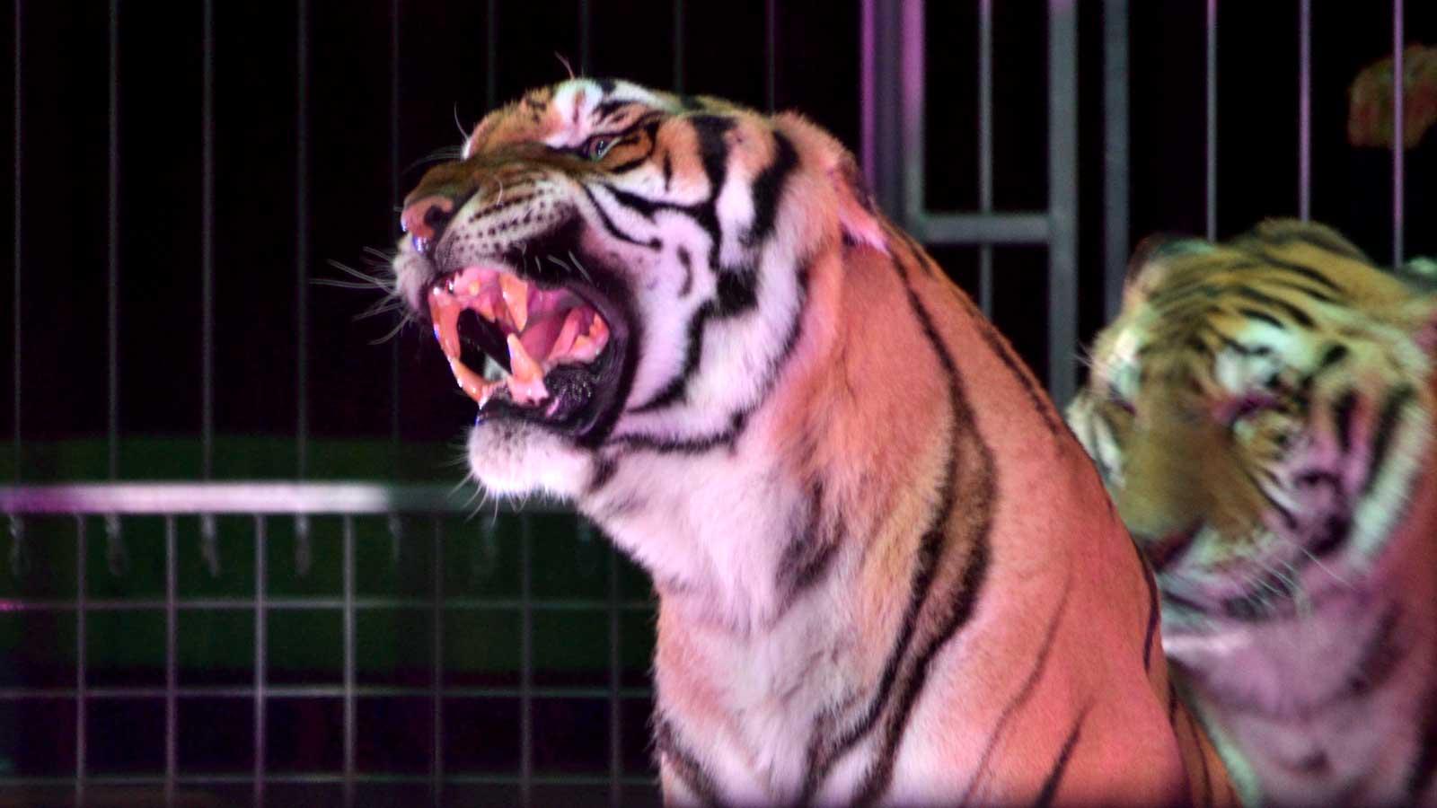Orfei circus tigre